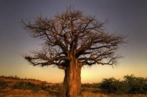 L'arbre baobab sauvage
